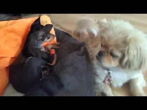 Наш первый друг. Кекс знакомиться с Вивой (Пекинес & той-терьер / Pekinese & toy terrier)