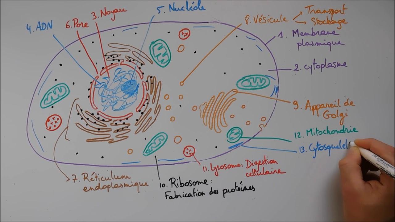 Structure Cellulaire 2