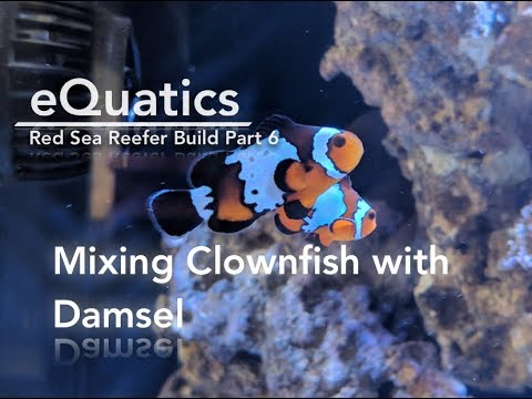 Red Sea Reefer Build PART 6: Mixing Clownfish With Damsel