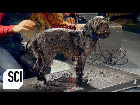 How Much Water Can A Wet Dog Shake Off? | MythBusters Jr.
