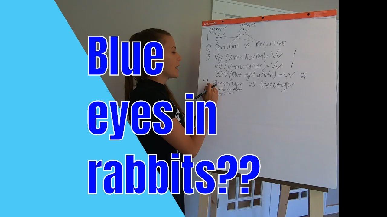 Blue eyes in rabbits