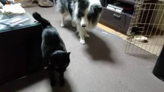 ボーダーコリー五歳と黒猫三歳 じゃれあいです.