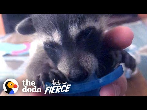 Rescued Baby Raccoon Loves To Snuggle On The Sofa | The Dodo Little But Fierce