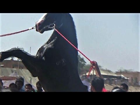 Marwari horse   FunnyCat.TV