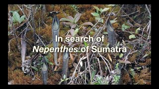 In search of Nepenthes in Sumatra (plus one Volcanic eruption!)
