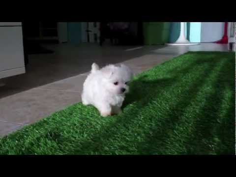 Cute Maltese puppies for sale in San Diego - YouTube