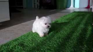 Cute Maltese Puppies For Sale In San Diego