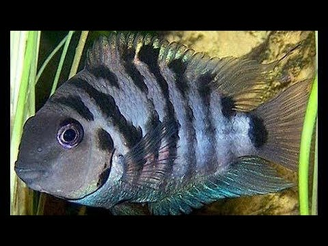 Convict Cichlid Care And Breeding