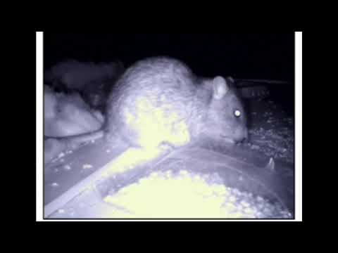 Rat In The Roof Happily Eating Poisoned Bait! What Happens Next?