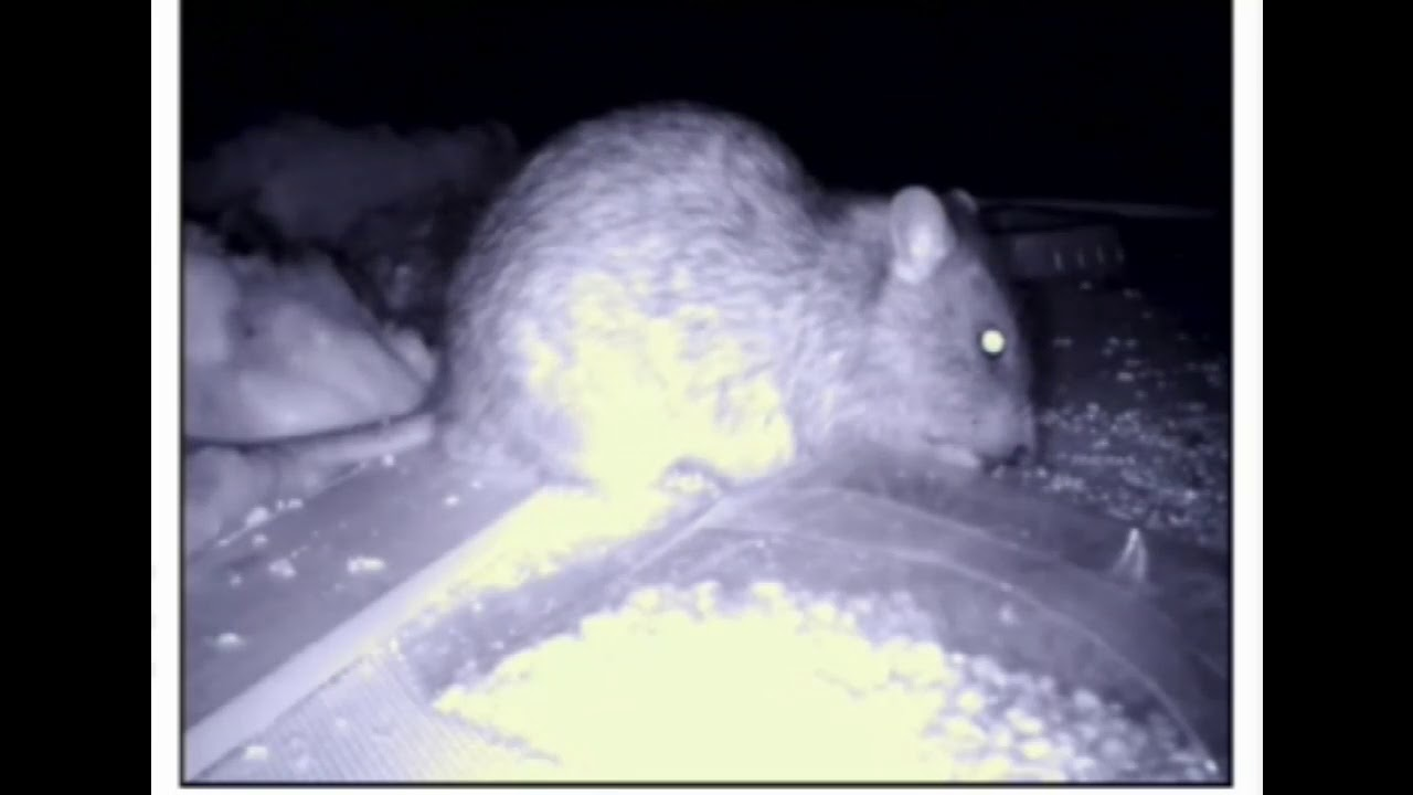 Rat in the roof happily eating poisoned