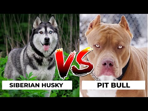 Siberian Husky Vs Pitbull in Hindi | Dog VS Dog | PET INFO | Which  Best For You as Pet?
