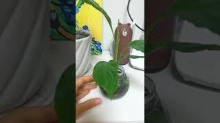 거북알로카시아 새잎이났어요♡ 물꽂이 스파티필름 수경재배