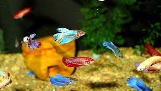Аквариум. Бойцовые рыбки