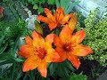 Amazing and Most Beautiful Fire Lily | Tiger Lily |Orange Lily Flowers