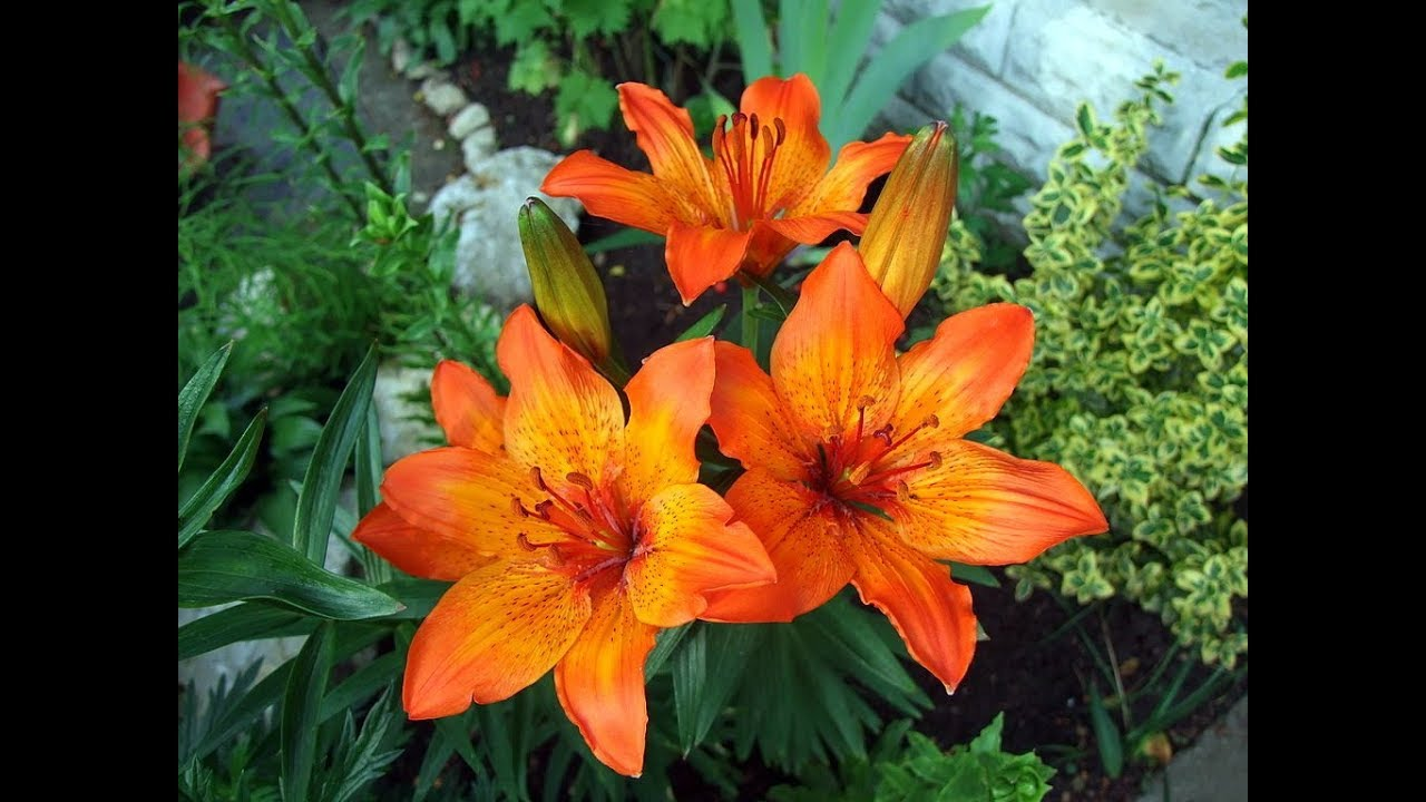Amazing And Most Beautiful Fire Lily Tiger Lily Orange Lily