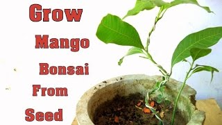 How to Grow Mango Bonsai From Seed - Part 2  | Wiring  | Bonsai tips & Care // Mammal Bonsai