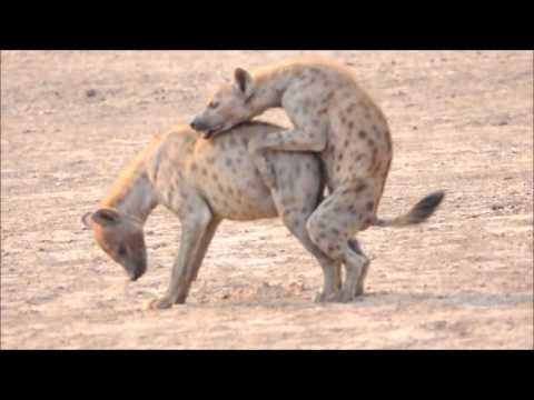 Hyaenas Mating