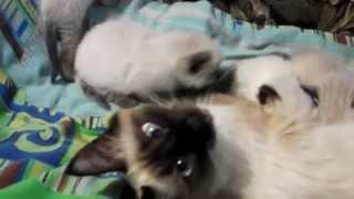 Мои Ляльпупсики - сиамские котята и их дети (11.05.2014)