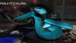 видео blue viper