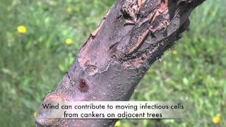 Fire blight and cankers