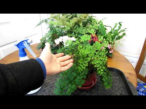 How To Save An Adiantum 'Maidenhair Fern' That Has Been Left Too Dry