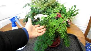 How to save an Adiantum