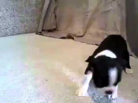 Fritz 3-19-15 Boston Terrier Boy