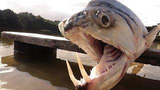 10 Najniebezpieczniejszych i Przerażających Stworzeń Rzeki Amazonki