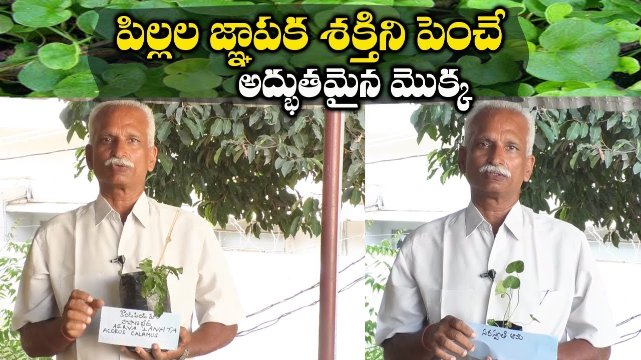 Amazing Health Benefits || Saraswati Leaf || Konda Pindi || Dr.Subbaraju || SumanTV Tree