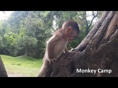look so hard to climb the tree, Real life of baby monkey, Monkey Camp part 728