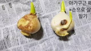 Tulip - hydroponics( 튤립 수경재배) …