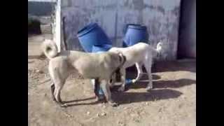 samsun ala coban köpegi ve kangal ( ikiside 6,5 aylık dişi)