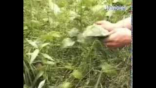 Лечебные свойства травы подорожника большого противопоказания