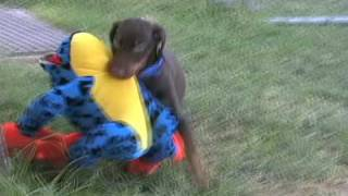 Red Doberman Puppy Playing Attacks The Giant Bullfrog, Mr. Magoo Is Too Funny