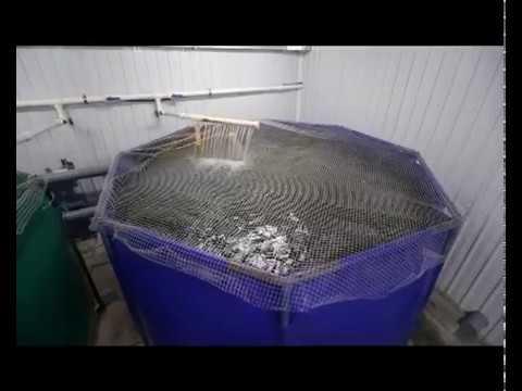 Как выращивать форель в домашних условиях видео