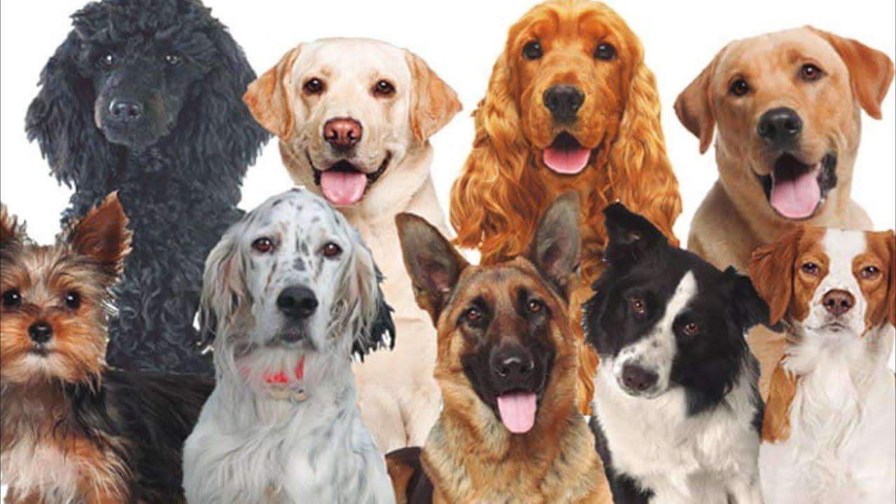 Cuantas Razas De Perros Hay En El Mundo Youtube