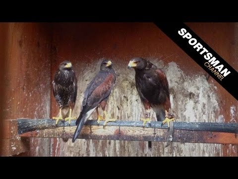 Falconry: Hunting with Harris's Hawks Part 1