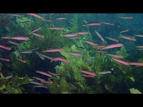 Trachinops Noarlungae (Yellowhead Hulafish)