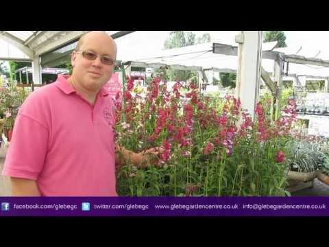 Penstemon | Glebe Garden Centre Leicester