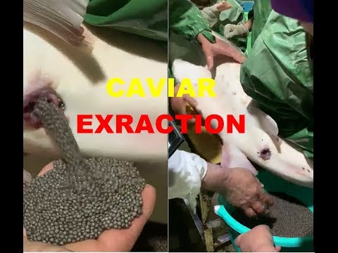NATURAL CAVIAR EXTRACTION  !!!