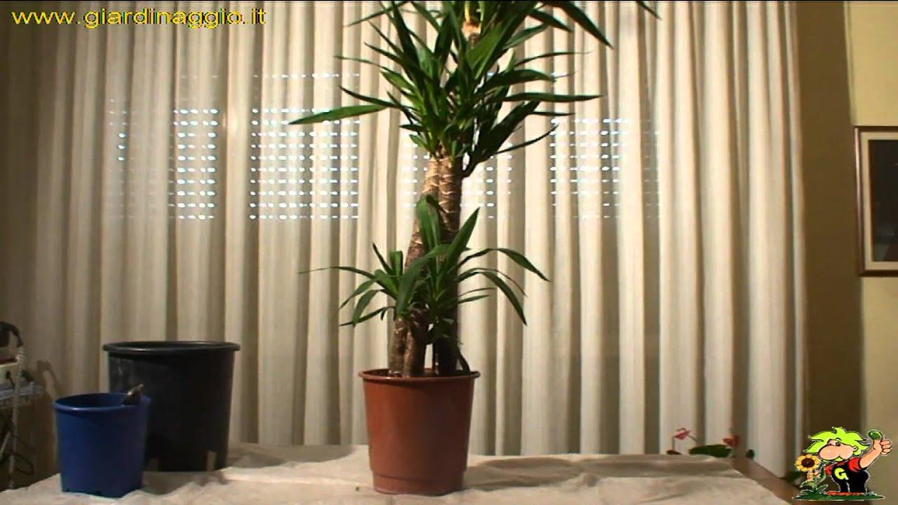 Tronchetto Della Felicità Da Esterno yucca - yucca aloifolia - piante da interno - yucca