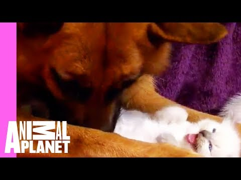 Thumbnail for Cat Video Kittens Befriend German Shepherd | Too Cute