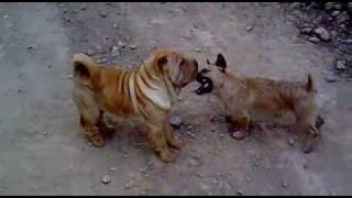 Shar Pei Dog Fighting, Lara 4,5 Meses Combate A Muerte.