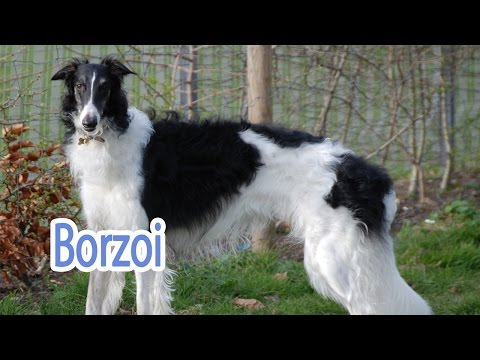 Borzoi Breed