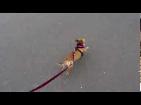 Wir skaten mit unserem Chihuahua.mp4
