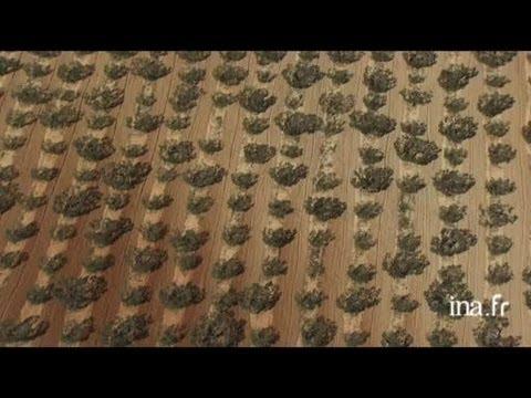 Espagne : plantations d'oliviers aux environs de Séville