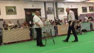 Miniature Bull Terrier Club England International Weekend 2016 Open Dog