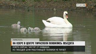 На озере в центре Тирасполя появились лебедята