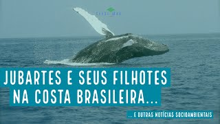 Jubartes e seus filhotes na costa brasileira e mais notícias socioambientais - VERDE MAR #106