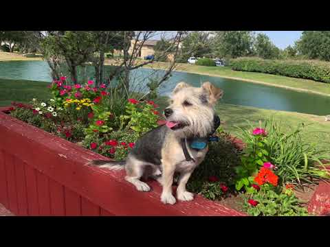 "3 year old Norfolk Terrier/Shih Tzu Mix ""Ringo""  Best Dog Trainers Amarillo Tx"
